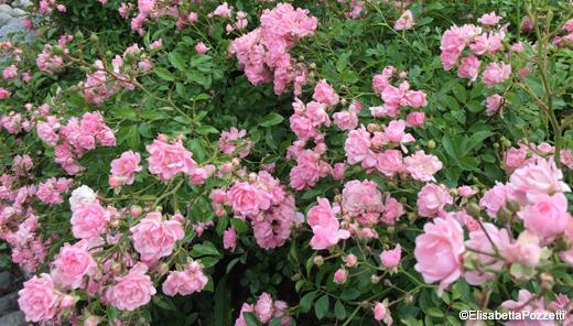 PROPHECY – La pianta di rose